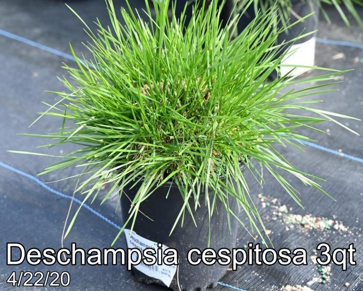 Deschampsia-cespitosa-3qt