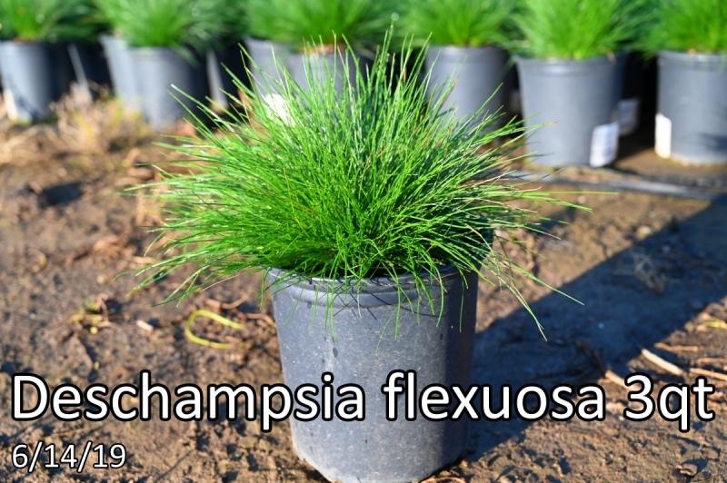 Deschampsia-flexuosa