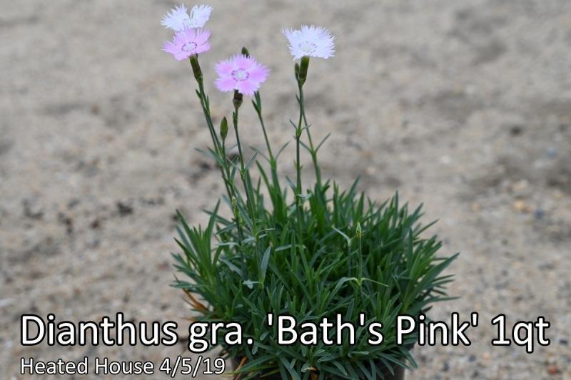 Dianthus-gra.-Baths-Pink