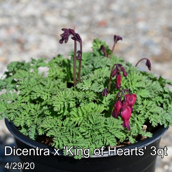 Dicentra x King of Hearts 3qt