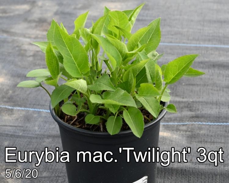 Eurybia mac. Twilight 3qt