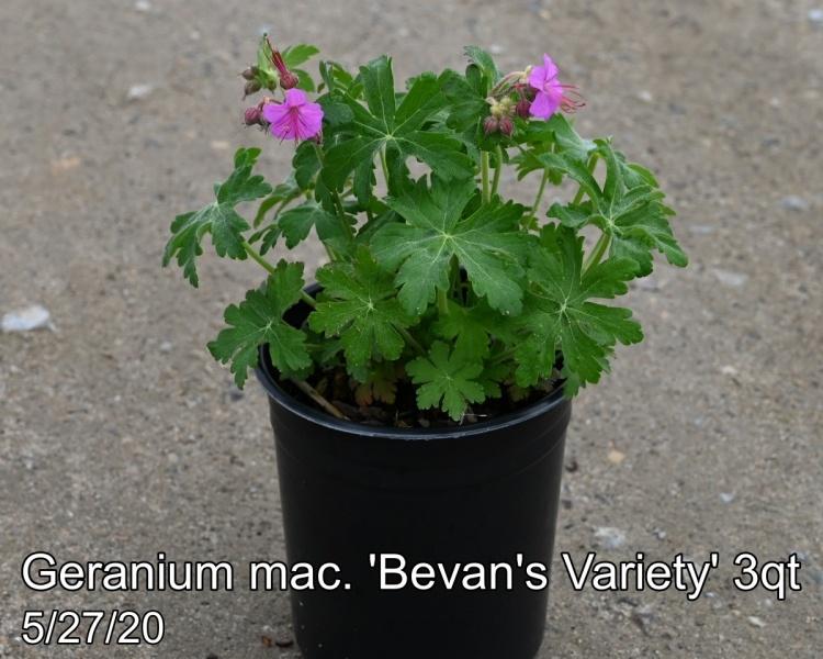 Geranium mac. Bevans Variety 3qt