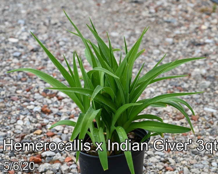 Hemerocallis x Indian Giver 3qt