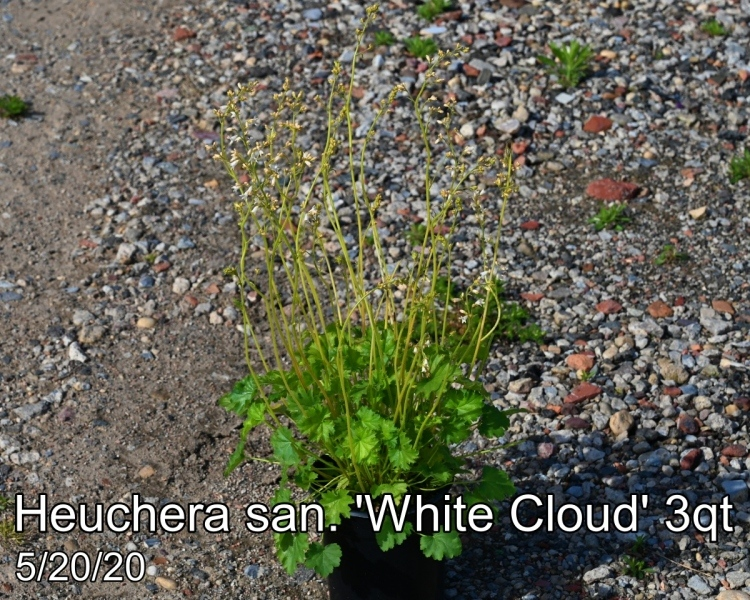 Heuchera san. White Cloud 3qt