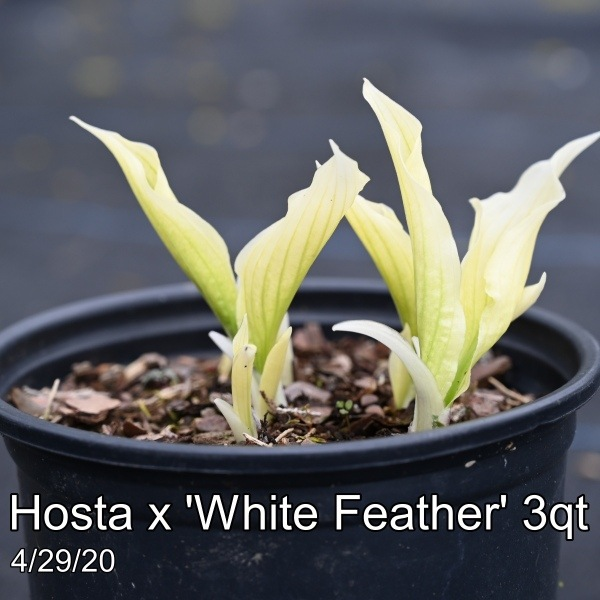 Hosta x White Feather 3qt