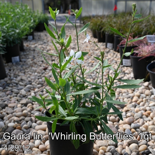 Gaura lin. Whirling Butterflies 3qt