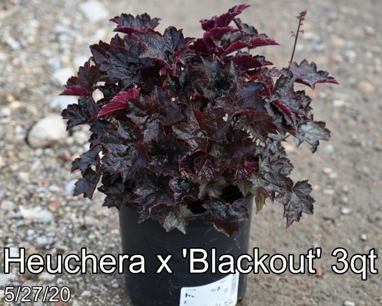 Heuchera x Blackout 3qt