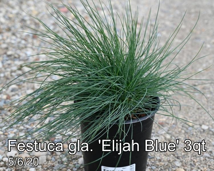 Festuca gla. Elijah Blue 3qt