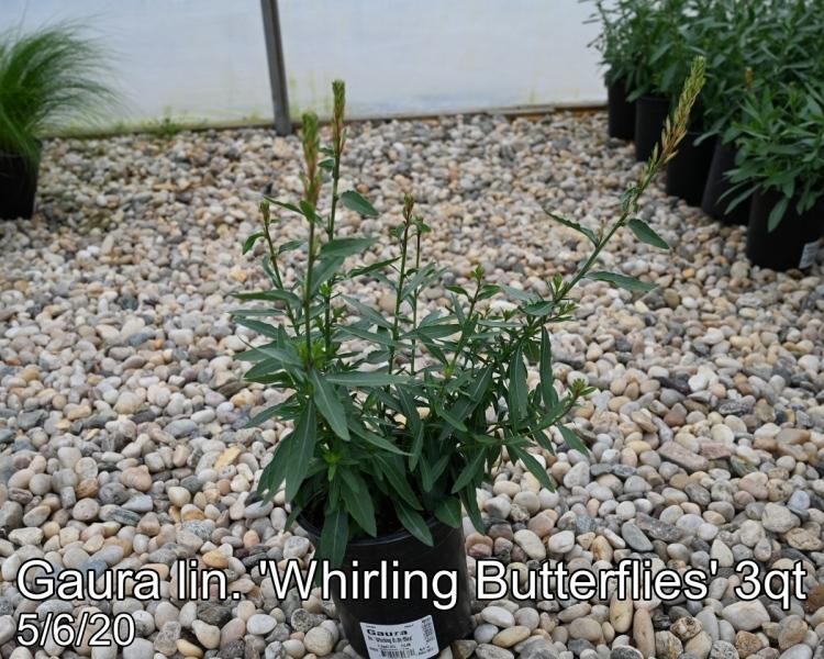 Gaura in. Whirling Butterflies 3qt