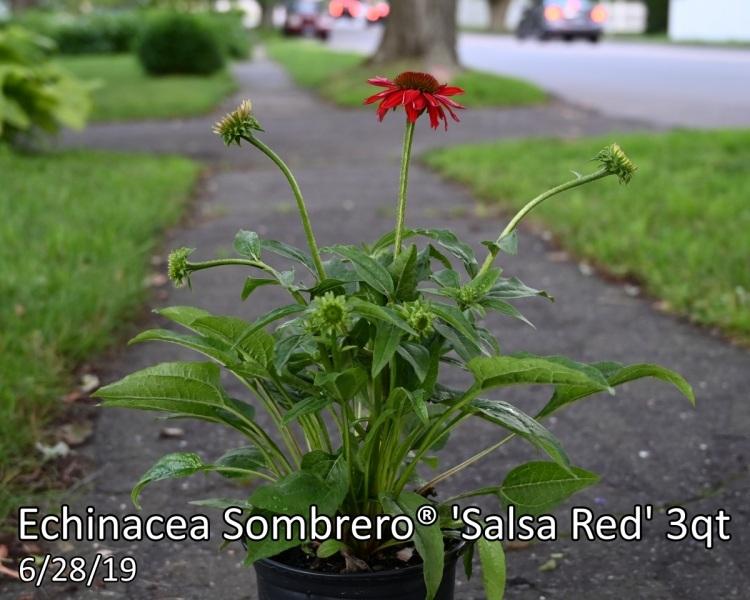 Echinacea-Sombrero®-Salsa-Red