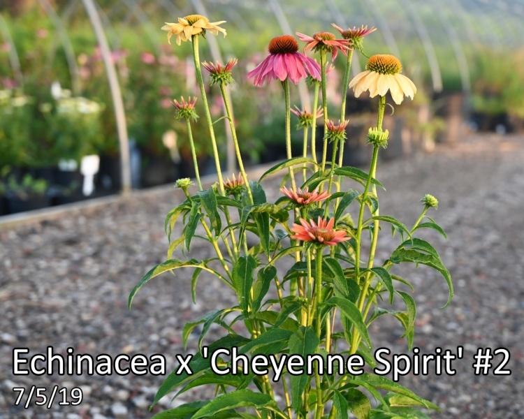 Echinacea-x-Cheyenne-Spirit