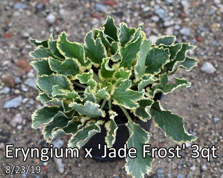 Eryngium-x-Jade-Frost