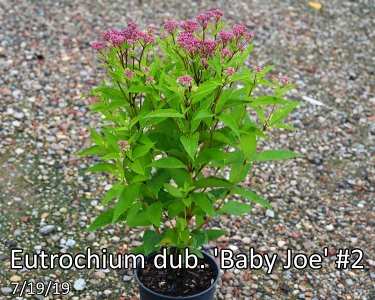 Eutrochium-dub.-Baby-Joe