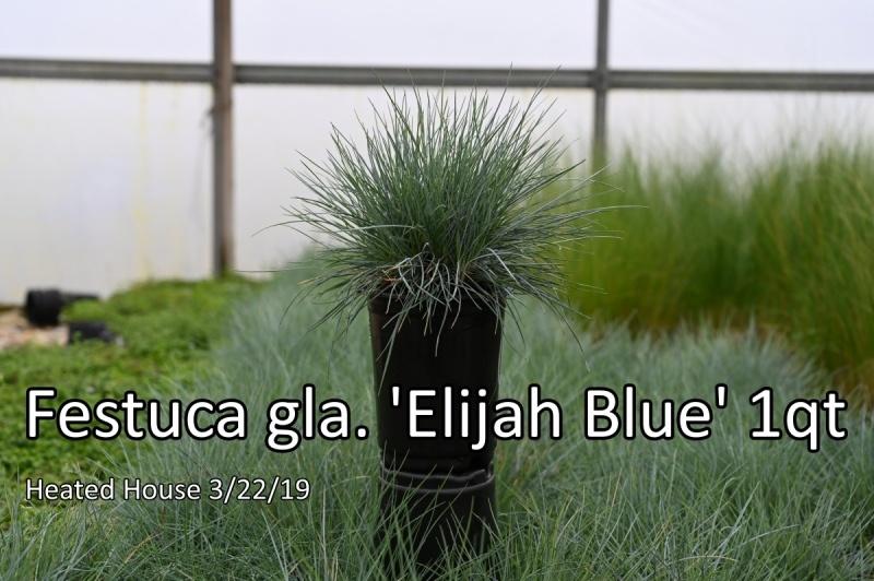 Festuca-gla.-Elijah-Blue-1qt