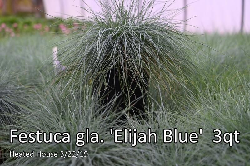 Festuca-gla.-Elijah-Blue-3-qt