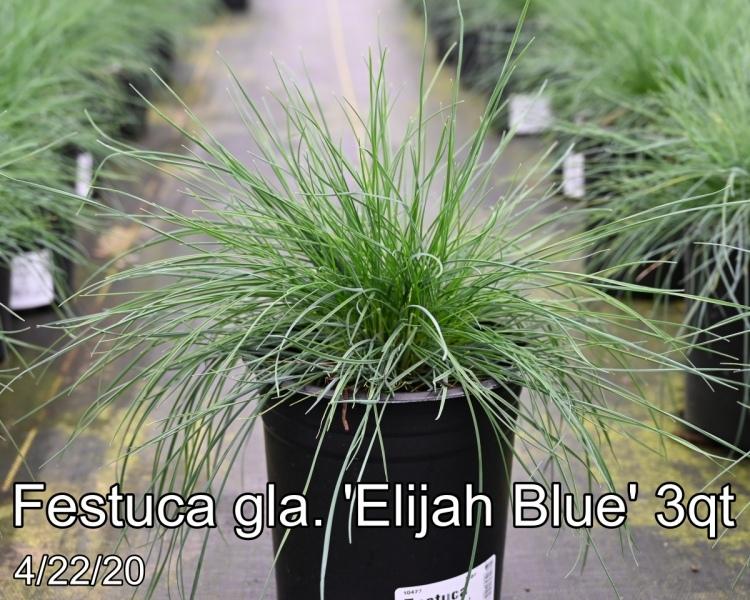 Festuca-gla.-Elijah-Blue-3qt