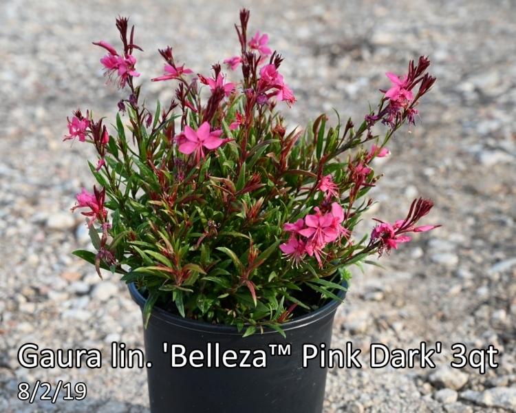 Gaura-lin.-Belleza™-Pink-Dark