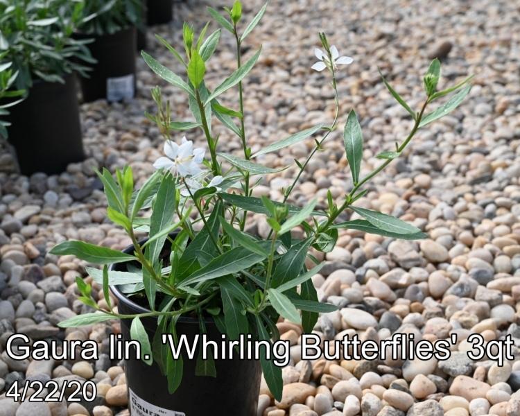 Gaura-lin.-Whirling-Butterflies-3qt