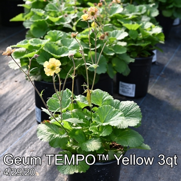 Geum TEMPO™ Yellow 3qt