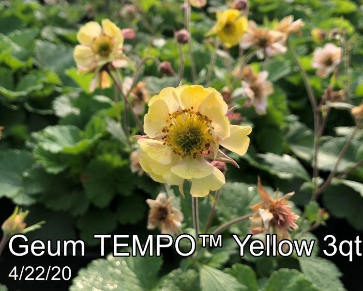 Geum-TEMPO™-Yellow-3qt