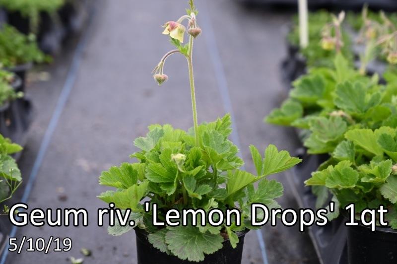 Geum-riv.-Lemon-Drops