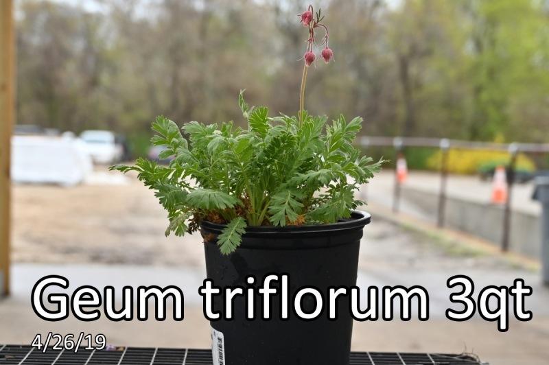Geum-triflorum