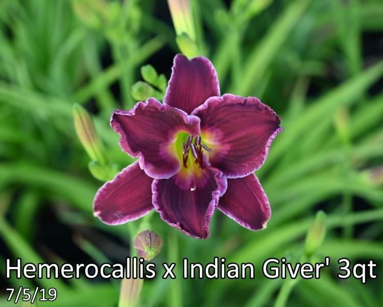 Hemerocallis-x-Indian-Giver