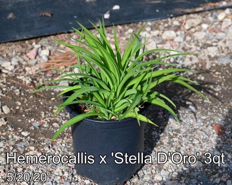 Hemerocallis x Stella D'Oro 3qt