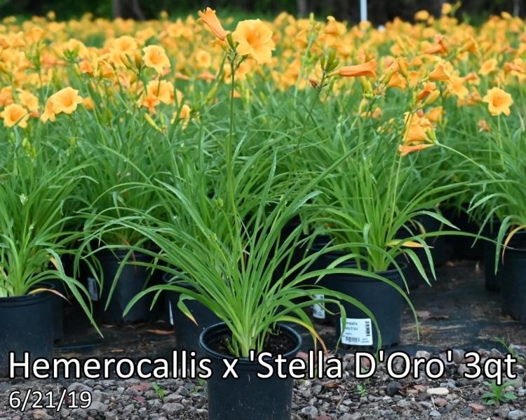 Hemerocallis-x-Stella-DOro