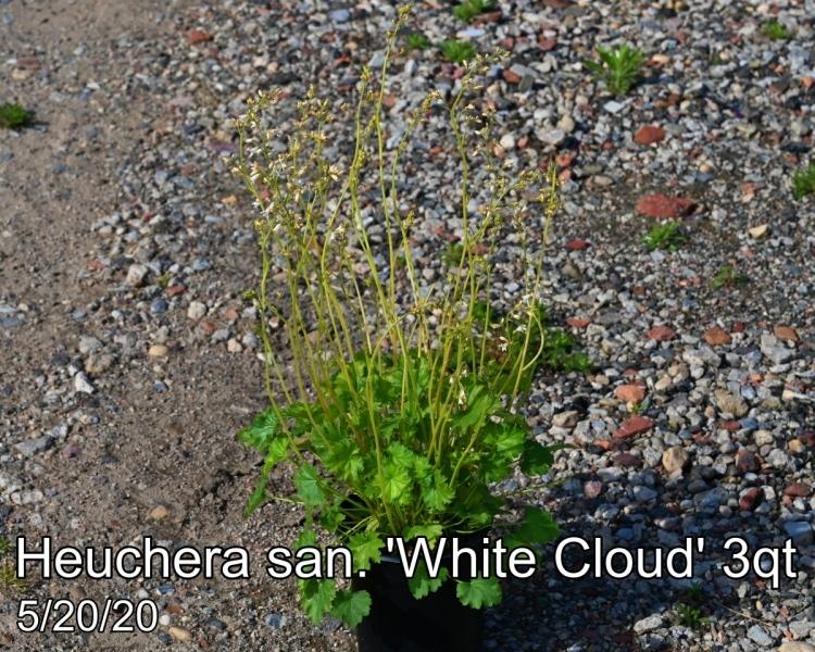 Heuchera san. White Cloud 3qt