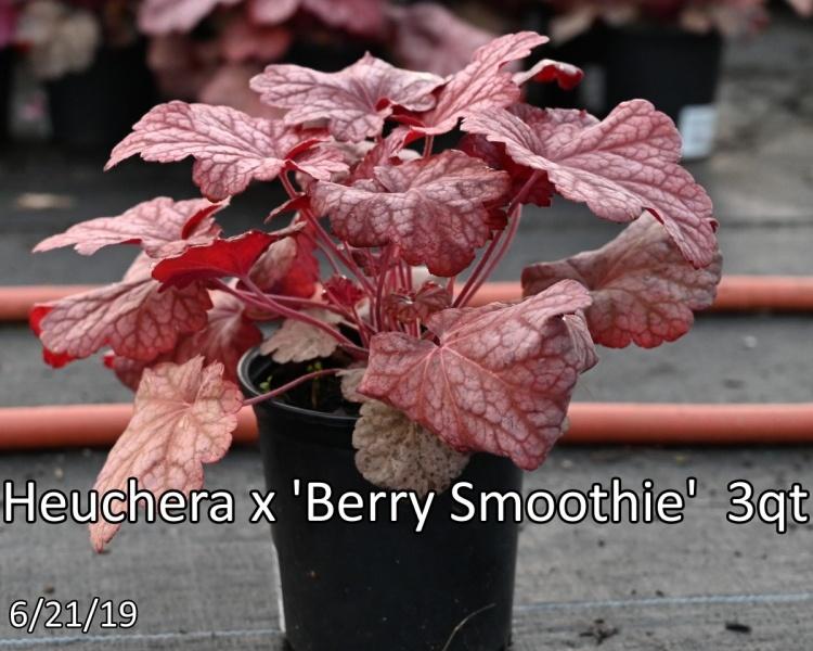 Heuchera-x-Berry-Smoothie