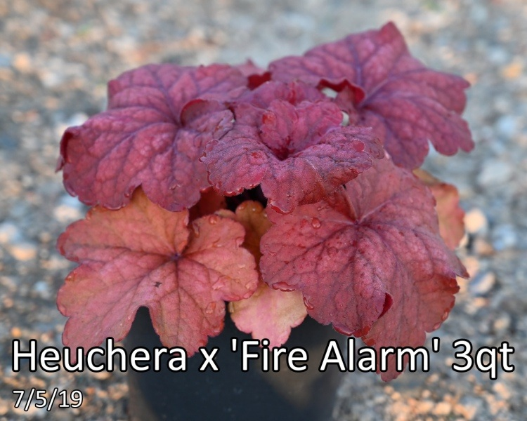 Heuchera-x-Fire-Alarm