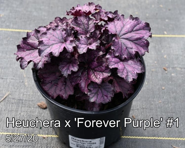 Heuchera x Forever Purple #1