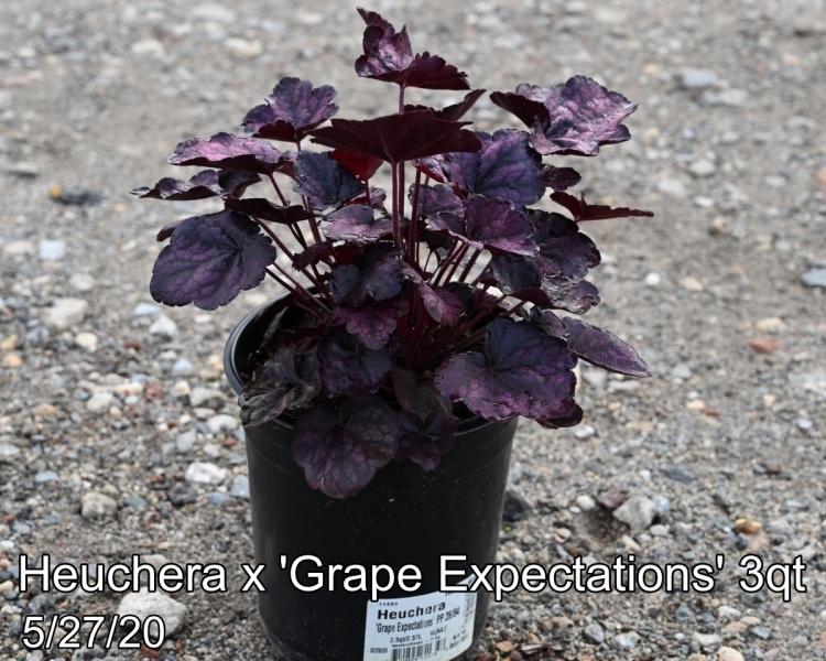 Heuchera x Grape Expectations 3qt