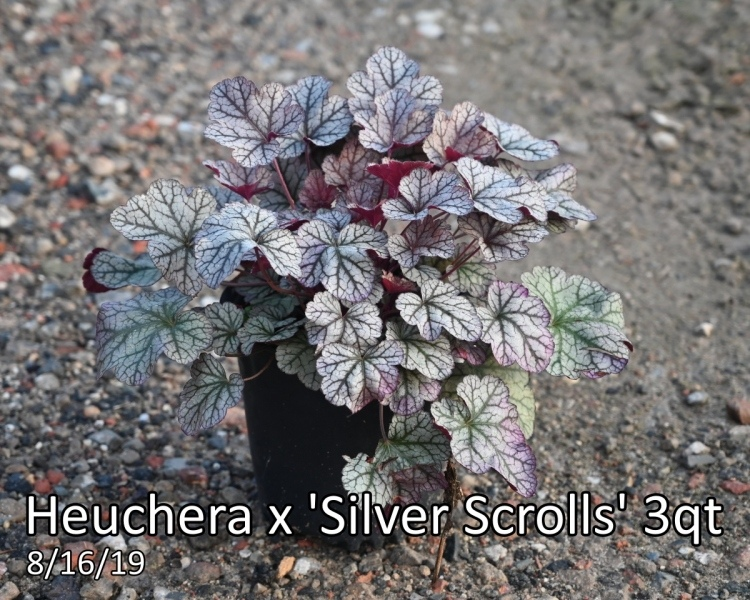 Heuchera-x-Silver-Scrolls