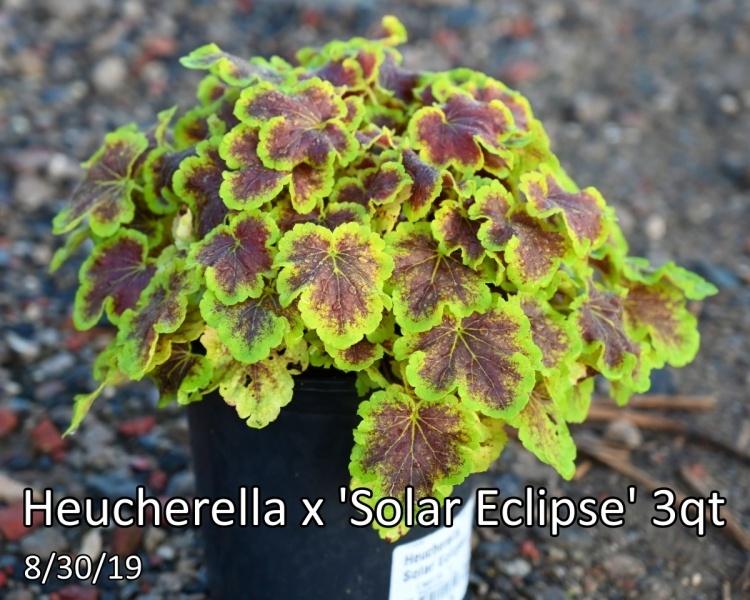 Heucherella-x-Solar-Eclipse