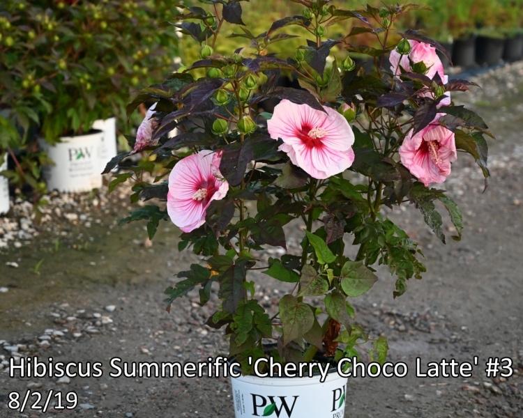 Hibiscus-Summerific-Cherry-Choco-Latte