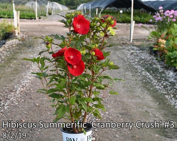 Hibiscus-Summerific-Cranberry-Crush