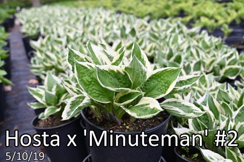 Hosta-x-Minuteman