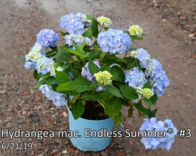 Hydrangea-mac.-Endless-Summer®