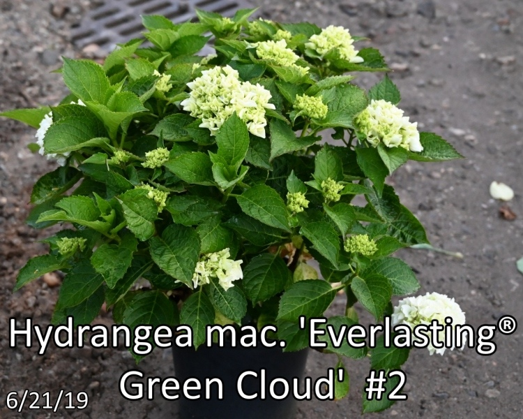 Hydrangea-mac.-Everlasting®-Green-Cloud