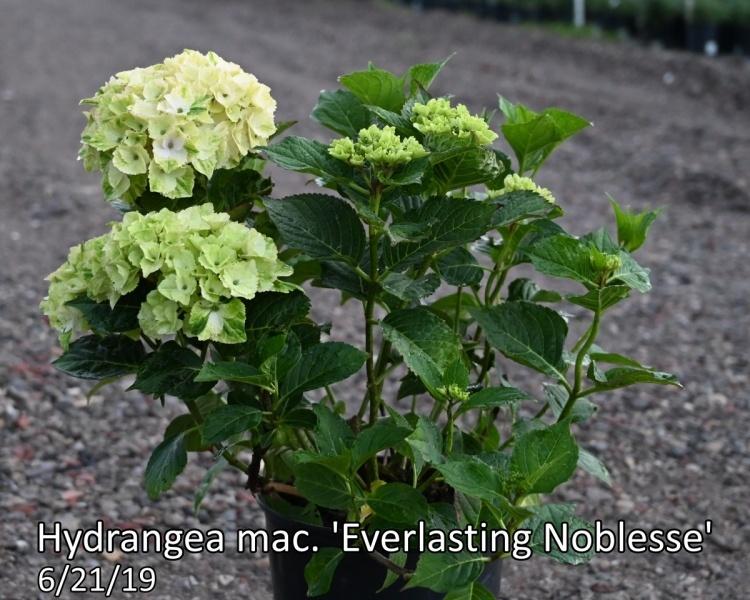Hydrangea-mac.-Everlasting-Noblesse