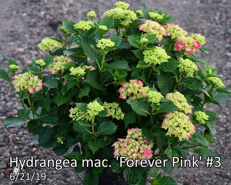 Hydrangea-mac.-Forever-Pink