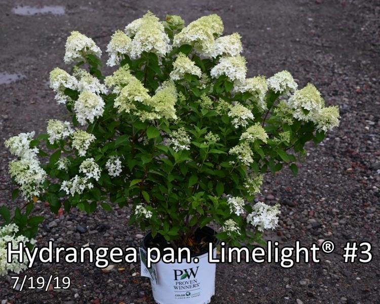 Hydrangea-pan.-Limelight®