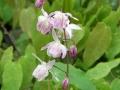 Epimedium roseum