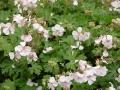 Geranium x cantabridiense 'Biokovo'