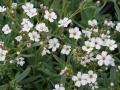 Gypsophila repans 'Alba'