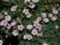 Gypsophila repans 'Rosea'