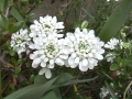 Iberis sempervirens 'White Out'