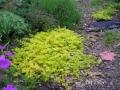 Lysimachia mummularia 'Aurea'